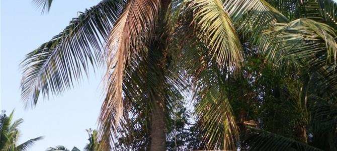 シェムリアップで初体験。ココナッツ名人とココナッツ割りとプランター作り