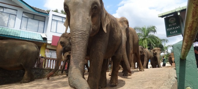 たくさんの象に癒された~!スリランカの象の孤児院