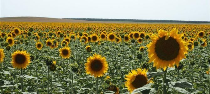 【スペイン&ポルトガル車旅Day11-2】アンダルシアの満開のひまわり畑の素晴らしさ!!